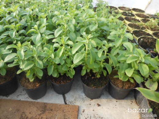 ba_orig_3304824494_stavba-a-zahrada-stromy-a-rastliny-exoticke-liecive-rastliny