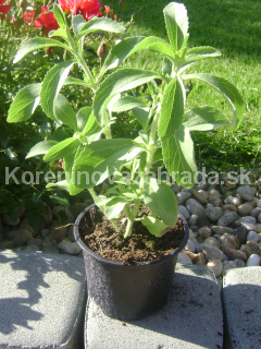 stevia_rebaudiana-stevia_cukrova-sladka_trava-kvetinac