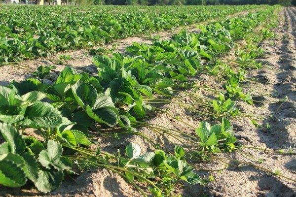 Návod na pestovanie jahôd
